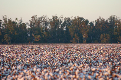 Cotton fields 2