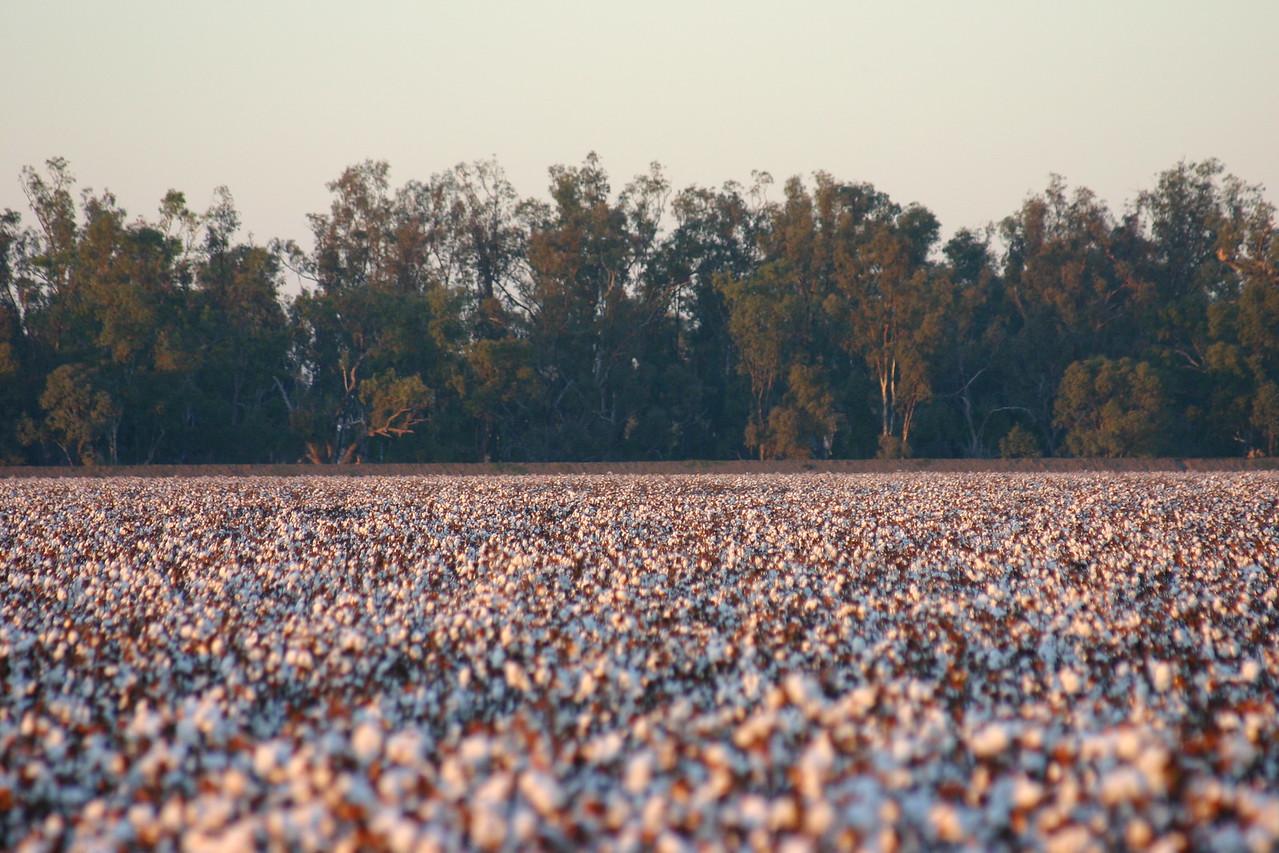 Cotton fields 2