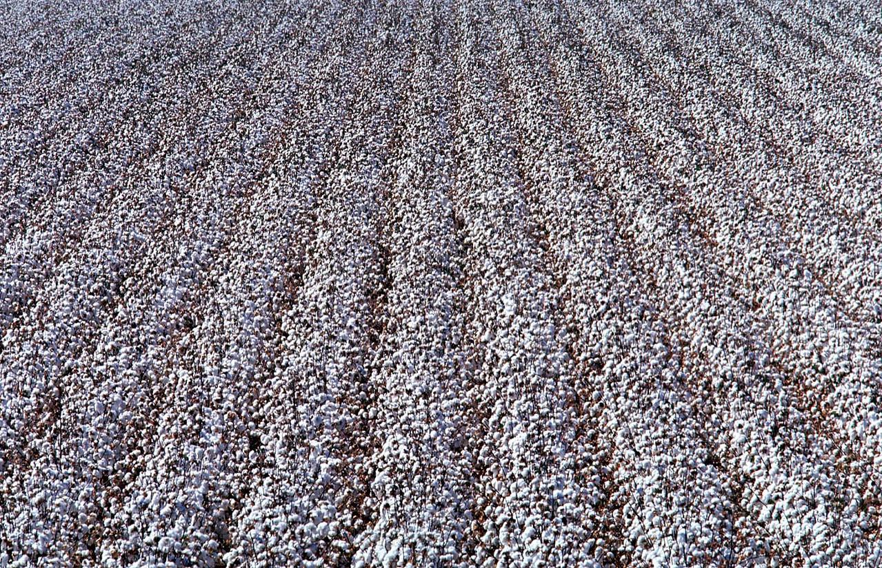 Cotton fields 4