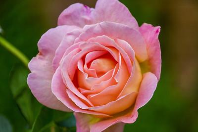 Filoli_Roses-06.jpg