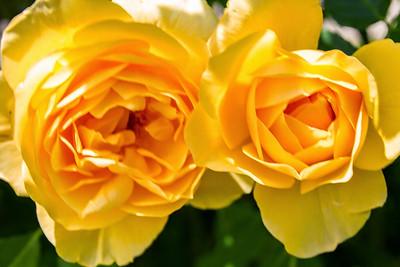 Filoli_Roses-16.jpg