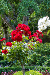 Filoli_Roses-21.jpg