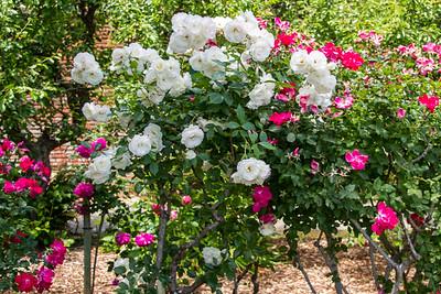 Filoli_Roses-18.jpg