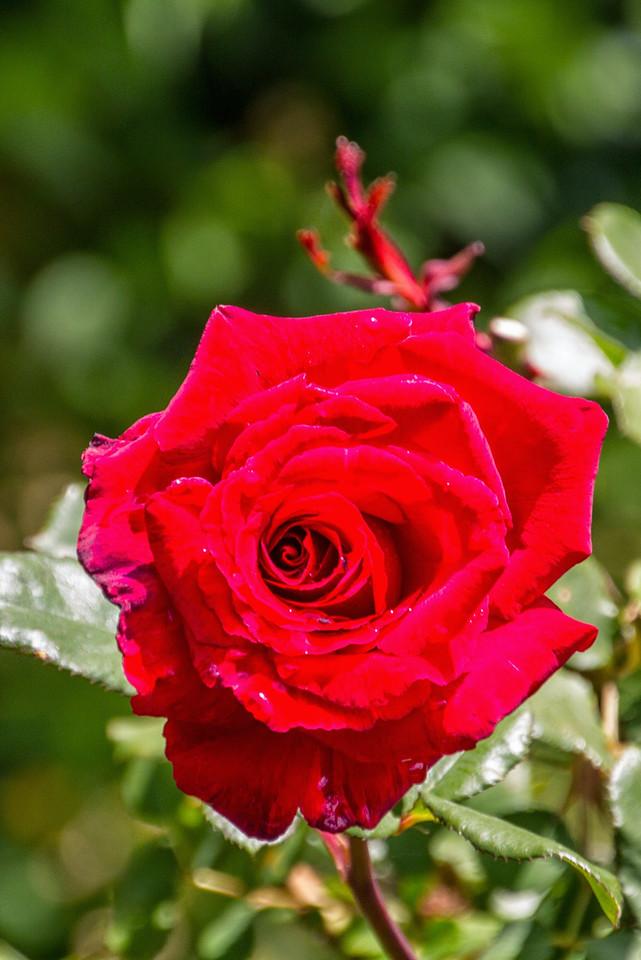 Filoli_Roses-04.jpg