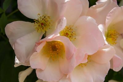 Filoli_Roses-10.jpg