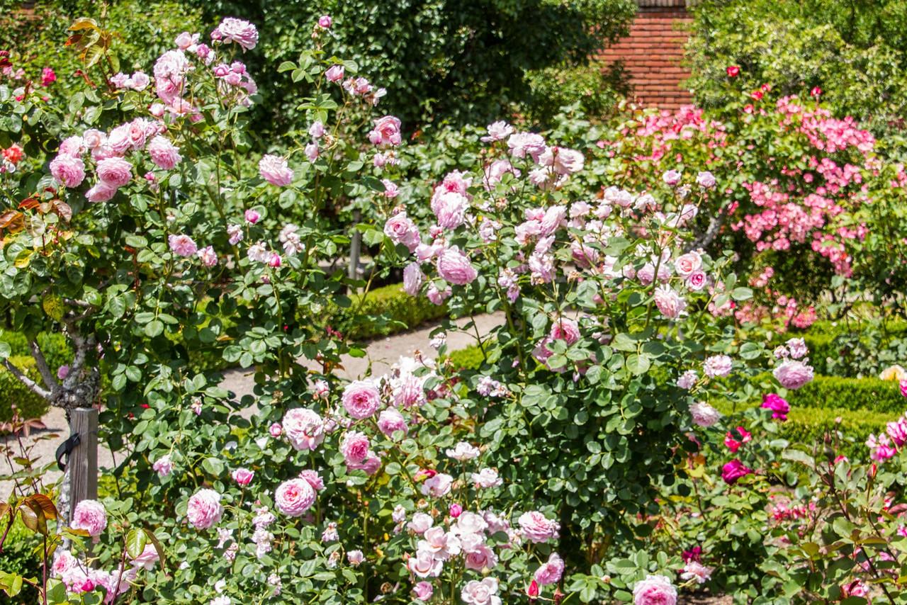 Filoli_Roses-14.jpg