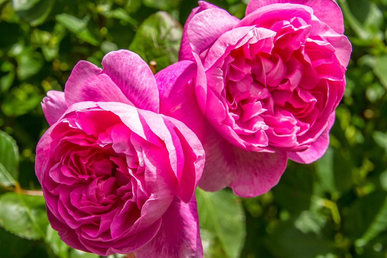 Filoli_Roses-03.jpg