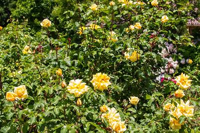 Filoli_Roses-17.jpg