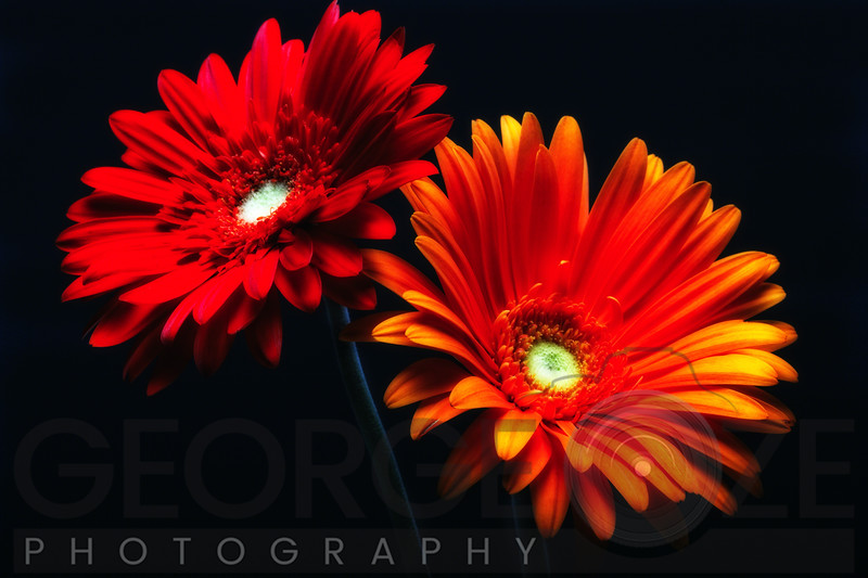 Two Luminous Daises Against Black Background