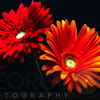Two Luminous Daises Against Black Background