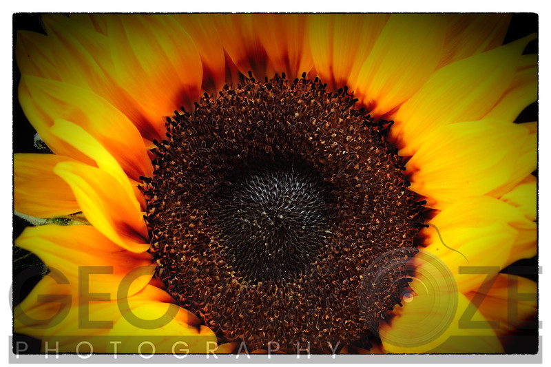 Close up View of a Sunflower Disc