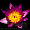 Illuminated Red Water Lily