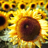 Sunflower Head Close Up ina Field of Sunflowers
