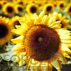 Sunflower Head Close Up ina Field of Sunflowers