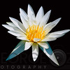 Elegant White Water Lily