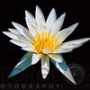 Elegant White Water Lily