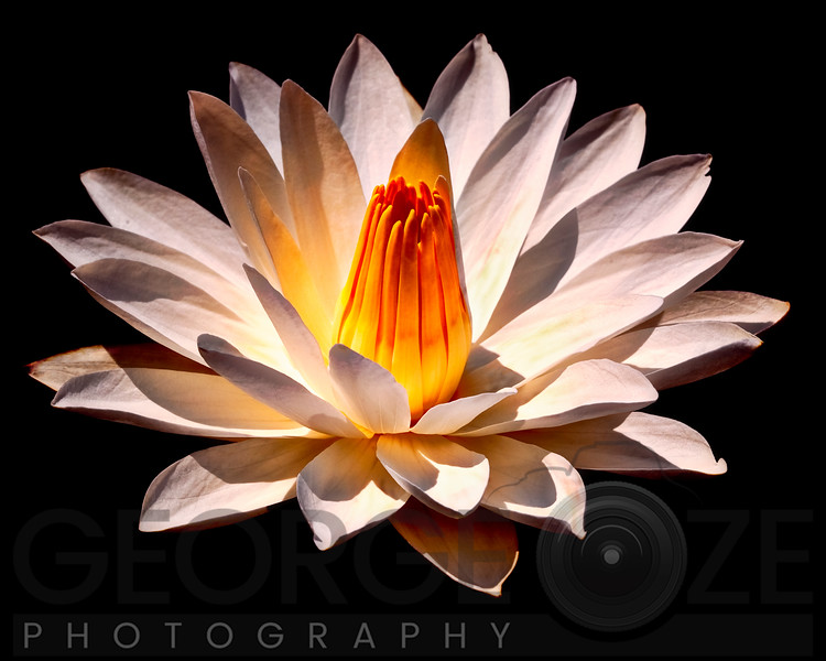Yello Glow Fragrant Water Lily