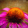 Purple Coneflower on Canvas Texture
