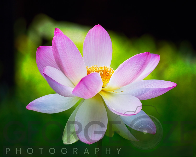 Blooming Lotus Flower