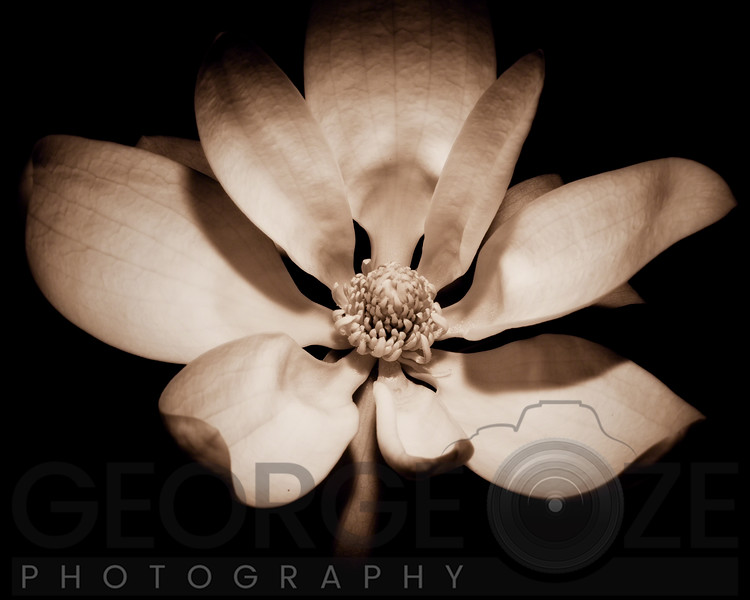 Awakening Magnolia