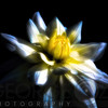 Waterlily Dahlia on Black Backround