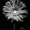Red Gerbera Flower in Black and White