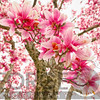 Pink Magnolia Tree Bloom