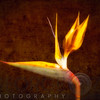 Luminous Bird of Paradise