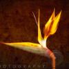 Luminous Bird of Paradise