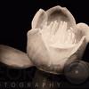 Chinese Tulip Tree Flower