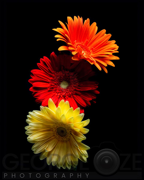 Three Luminous Daises Against Black Background