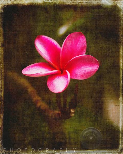 Luminous Pink Plumeria