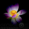 Rebirth of a Luminous Lotus