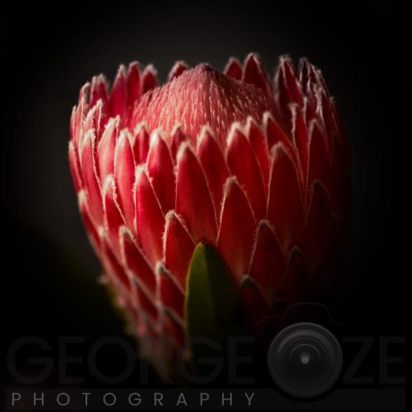 Protea Flower Close Up