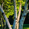 Birch Trees in Afternoon Light