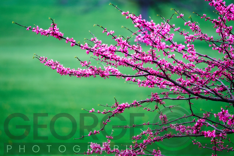 Flowering Tree Branches