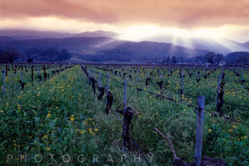 Spring Sunset Over Napa Valley, Oakville, California