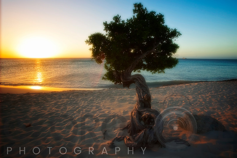 Beach Sunset with a Fofoti Tree, Aruba, Dutch Antilles