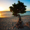 Beach Sunset with a Fofoti Tree, Aruba, Dutch Antilles