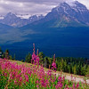 Fireweed Bloom on the Hillside; Rocky Mountains, Alberta, Canada