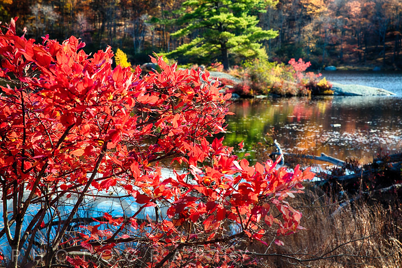Red Bush Along a Lake in Autumn