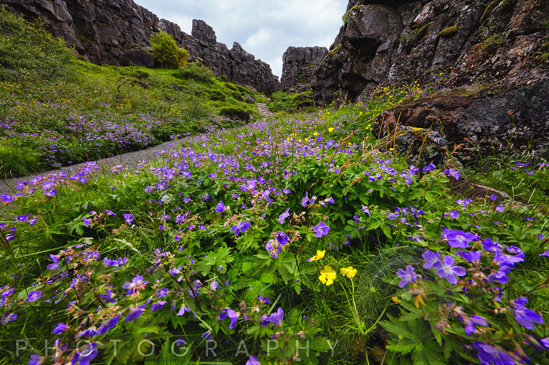 Wildflower Filled Canyon, Thinvellir, Iceland