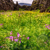 Blooming Purple and Yellow Wildflowers in a Canyon, Thingvellir, Iceland
