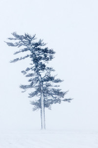 Arcola Leaning Pine Tree