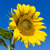 Sunflowers-2887