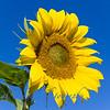 Sunflowers-2887
