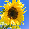 Sunflowers-2899