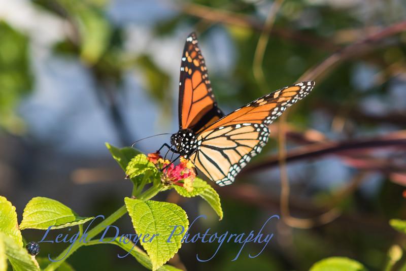 WB_Butterflies-2983