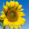 Sunflowers-2889