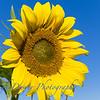 Sunflowers-2889